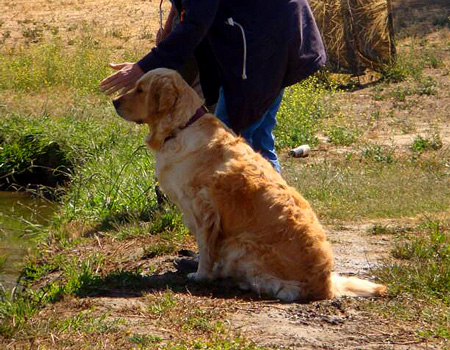english golden retriever beginning hunt training